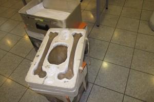 Die naturgetreue Replik des Neandertalers aus dem LVR-LandesMuseum sorgfältig verpackt ...